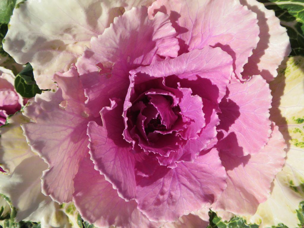 Blooming Kale