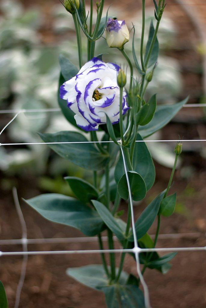 Blue Picotee Lisianthus