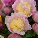 Bowl of Cream Peonies