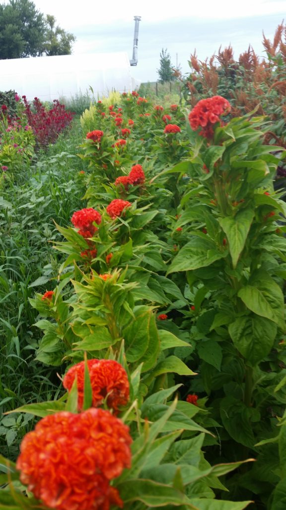 A bed of Cockscomb Celosia