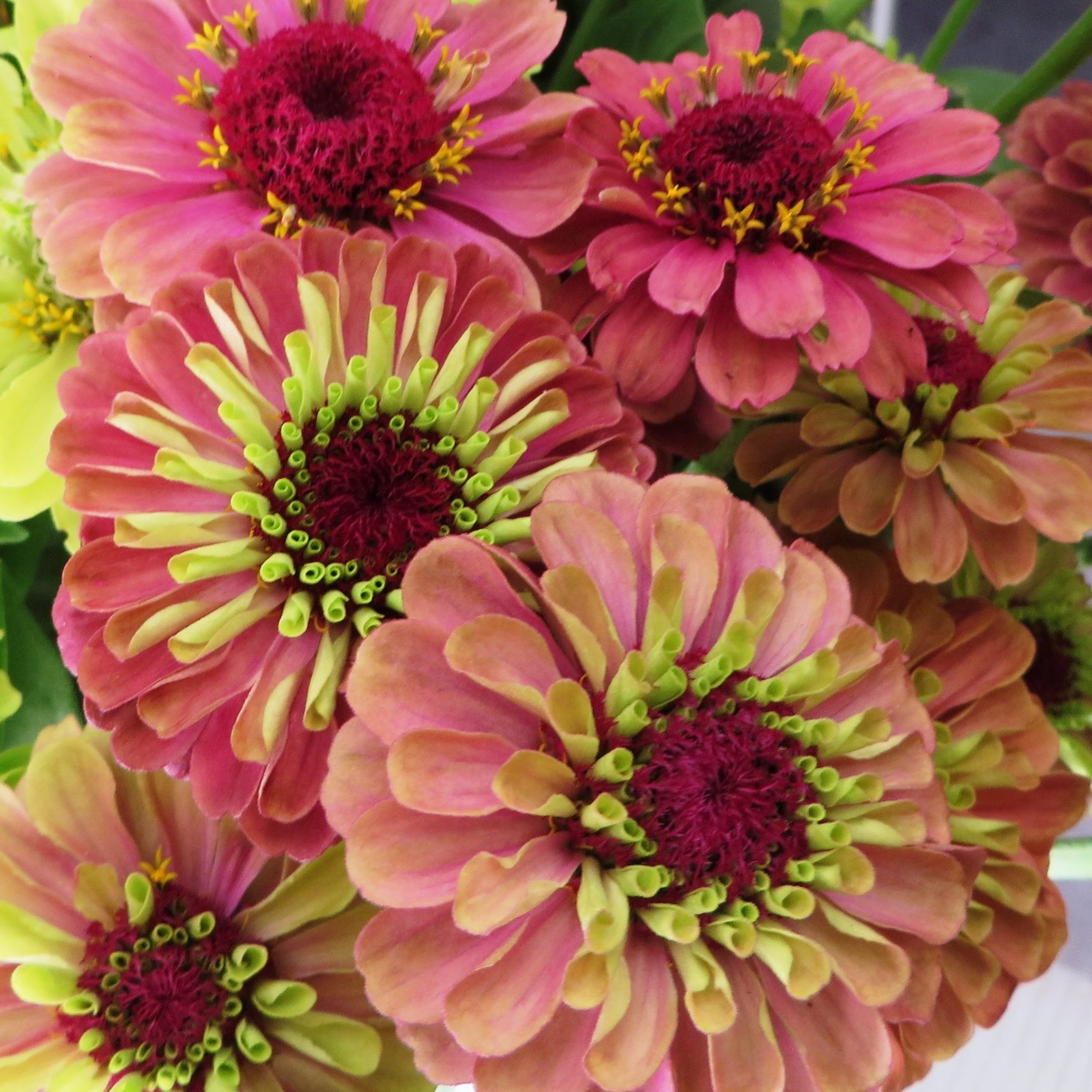 Queen Red Zinnia